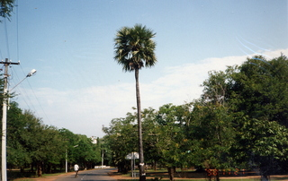 2 35o. Satish-Geeta wedding in Madras, India - palm tree at IIT Madras