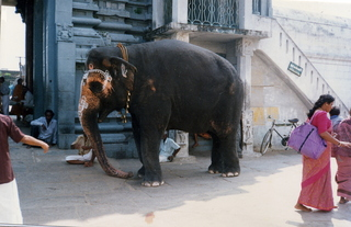 9 35o. Satish-Geeta wedding in Madras, India - dressed up elephant