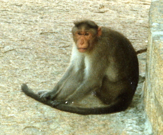 27 35o. Satish-Geeta wedding in Madras, India - monkey in Mahabalipuram (close up)