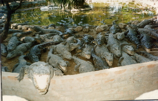34 35o. Satish-Geeta wedding in Madras, India - feeding time at crocodile farm