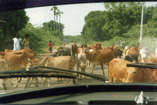 35 35o. Satish-Geeta wedding in Madras, India - cattle traffic jam
