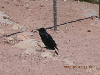 view from South Kaibab trail -- big black bird
