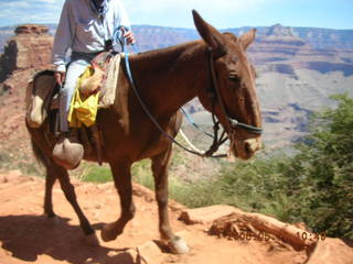 21 5t7. view from South Kaibab trail -- mule from mule pack