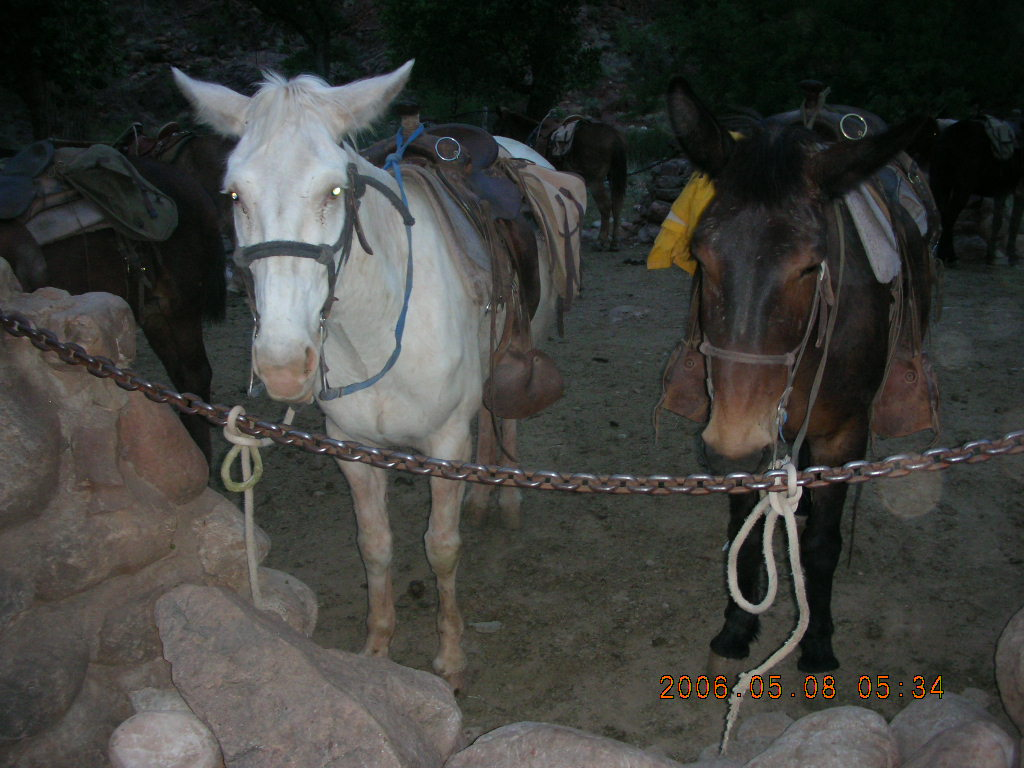 mules at Phantom Ranch