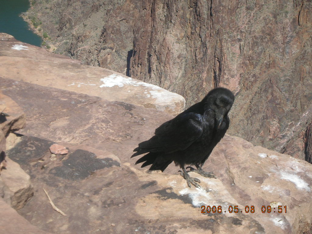 Plateau Point -- large black bird