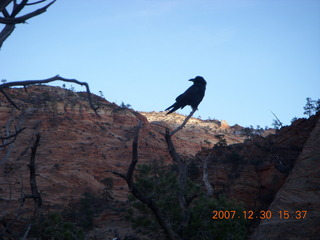 344 6cw. Zion National Park - Canyon Overlook hike - bird