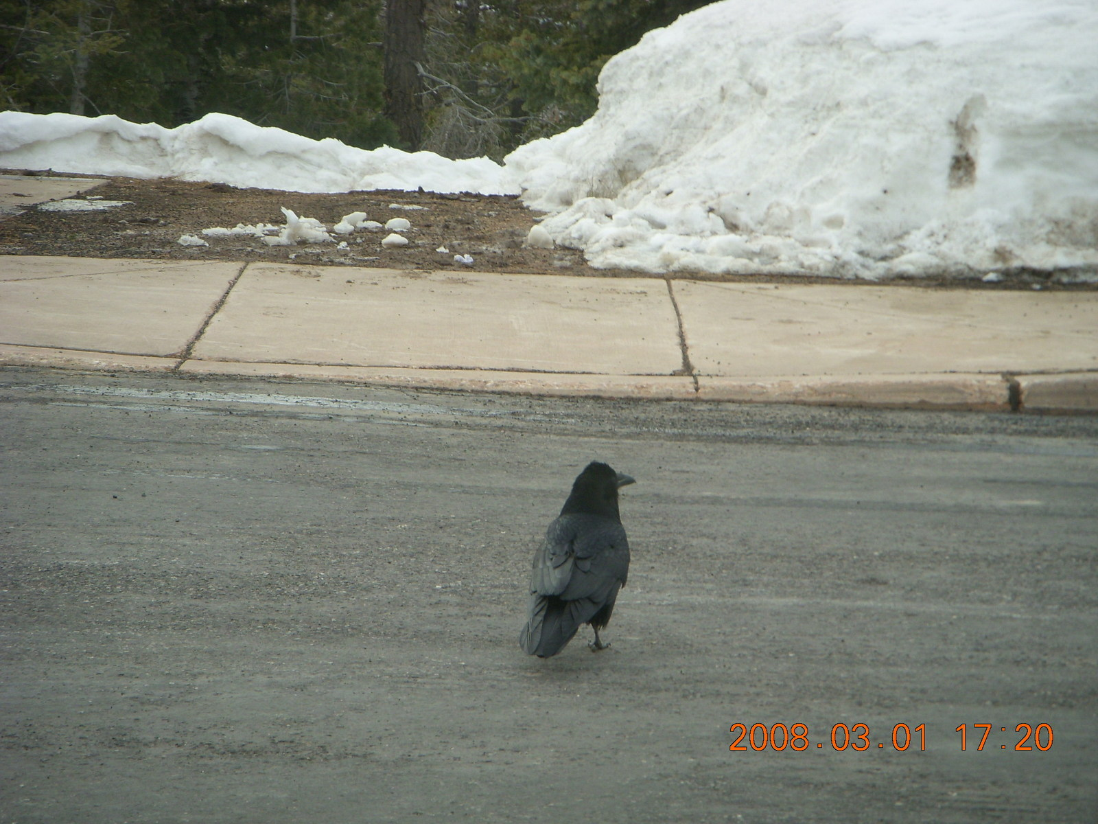 Bryce Canyon - raven in parking lot