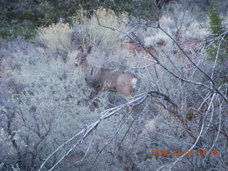 Zion National Park - Watchman hike - mule deer