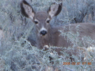 Zion National Park - Watchman hike - mule deer (Where's Waldo?)