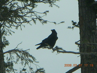 Bryce Canyon - raven in a tree