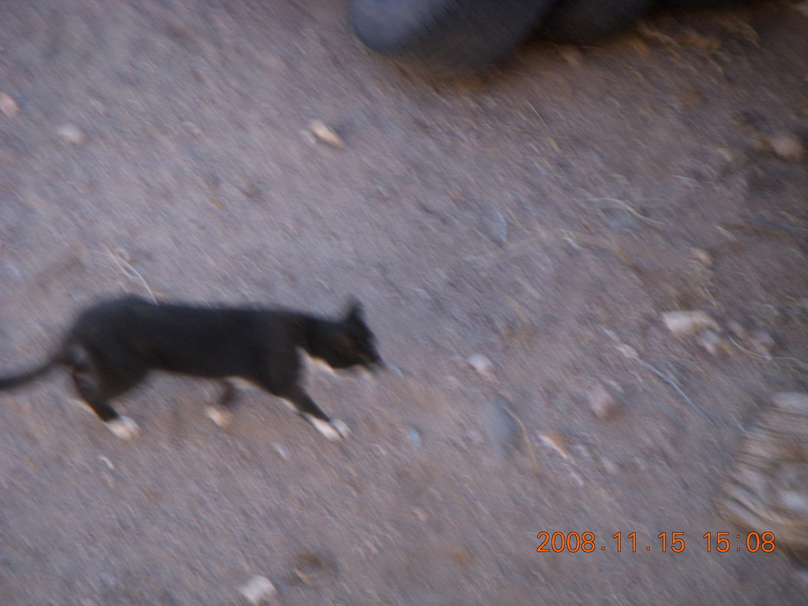 Verde Canyon Railroad - cat at Perkinsville station