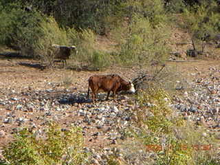 279 6pf. Verde Canyon Railroad - cow