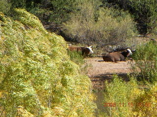 280 6pf. Verde Canyon Railroad - cows