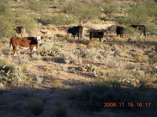 388 6pf. Verde Canyon Railroad - cows