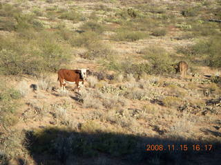 389 6pf. Verde Canyon Railroad - cow