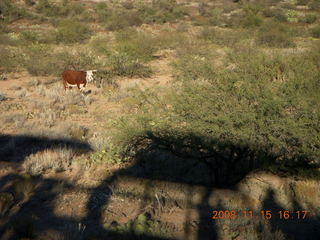390 6pf. Verde Canyon Railroad - cow and train shadow
