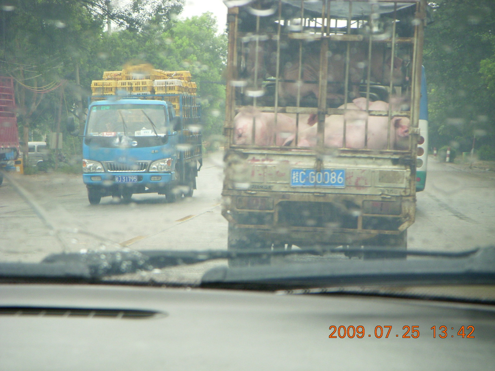 China eclipse - drive in the rain from Yangshuo to Guilin - pigs