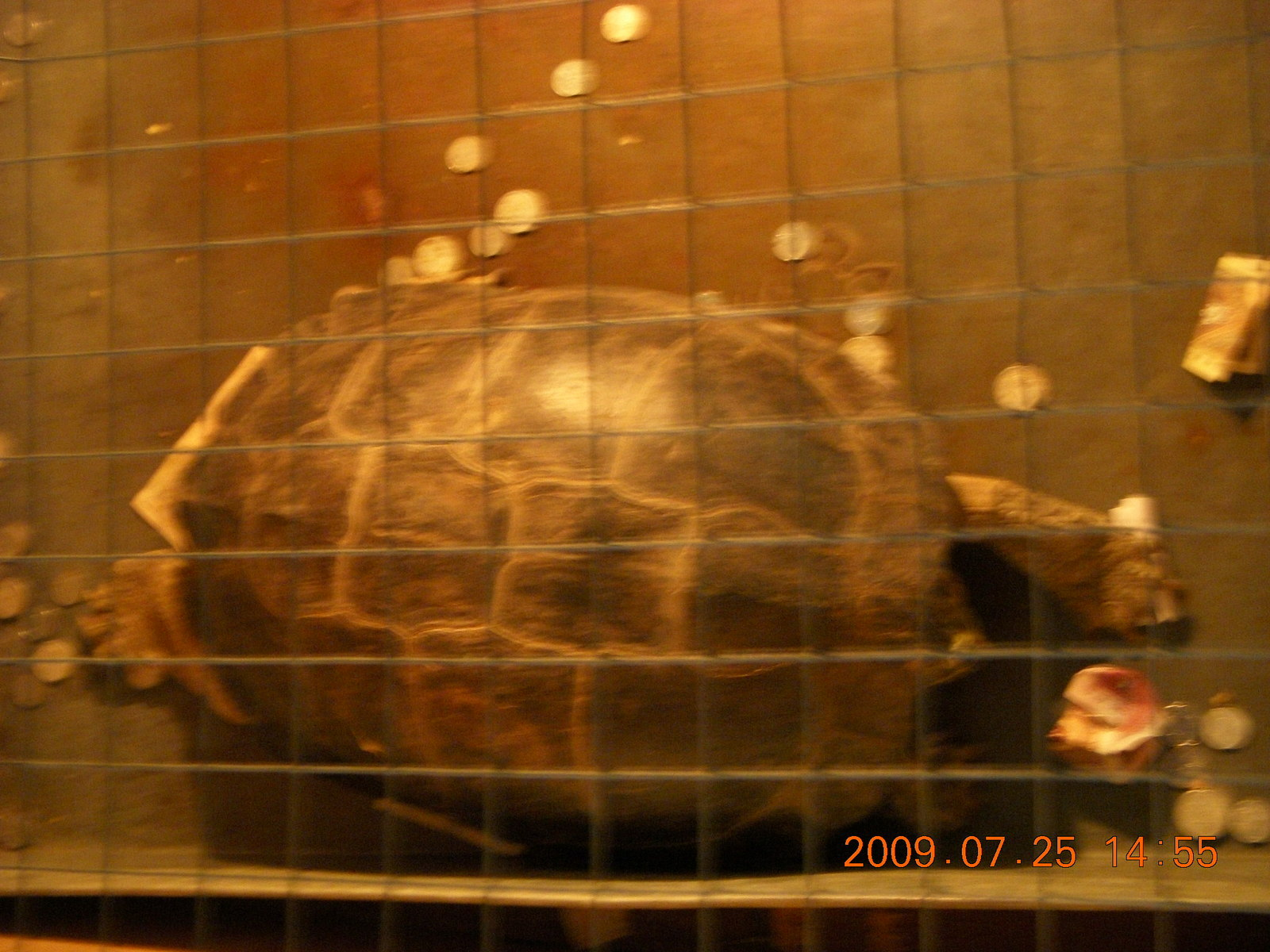 China eclipse - Guilin SevenStar park - reptile house - big turtle