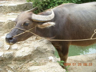 112 6xr. China eclipse - Yangshuo bicycle ride - water buffalo