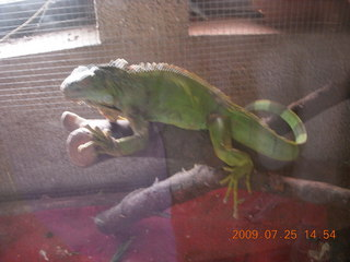 261 6xr. China eclipse - Guilin SevenStar park - reptile house - chameleon