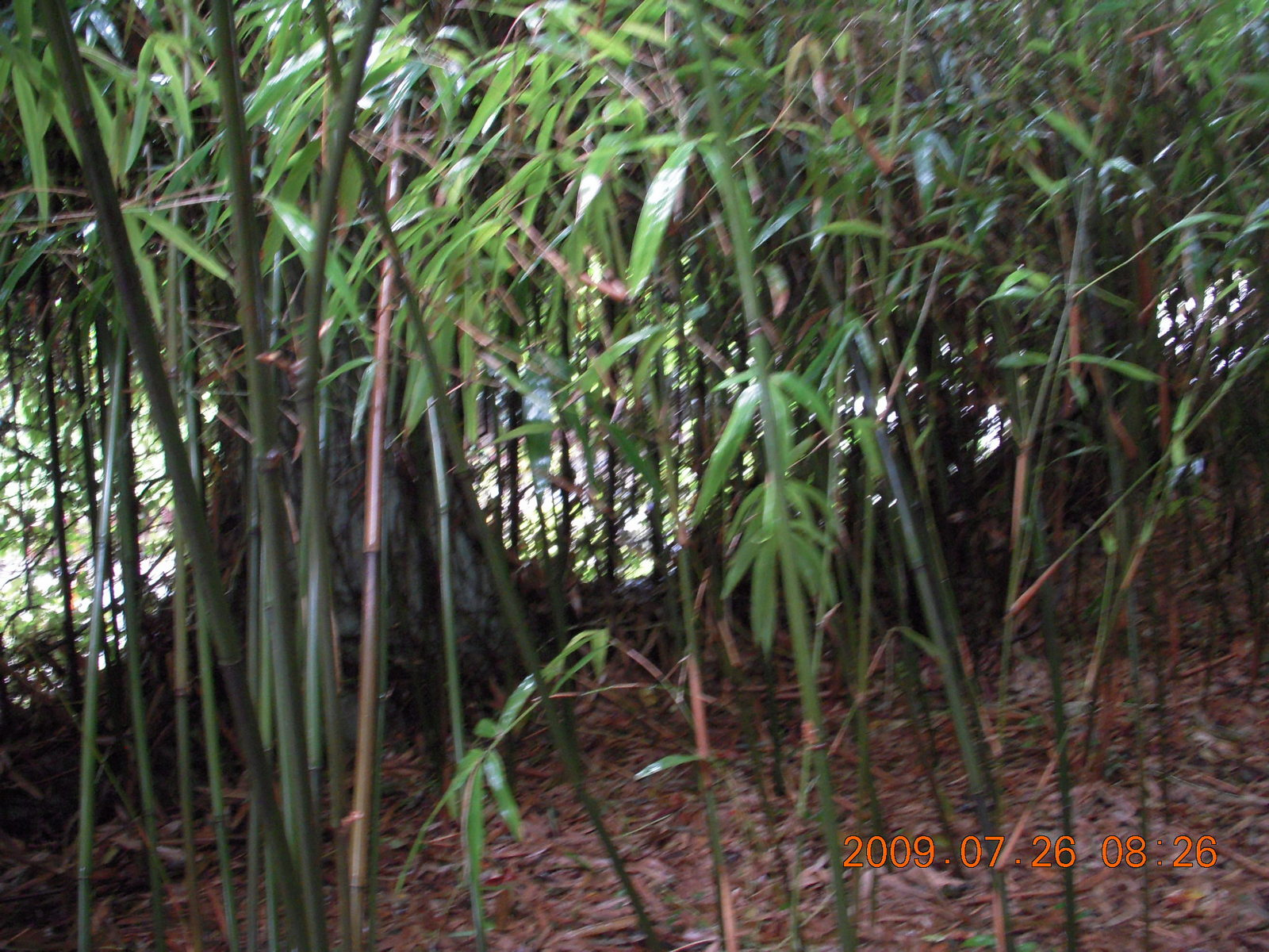 China eclipse - Guilin - Elephant Rock - bamboo trees